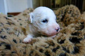 Puppies_0374rs