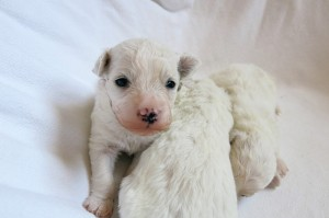 Puppies_0380rs